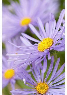 Daisy Art, Daisy Daisy, Purple Daisy, Aster, Fine Art Prints, Framed Prints, Canvas Prints, Michaelmas Daisy, Cottage Garden Plants