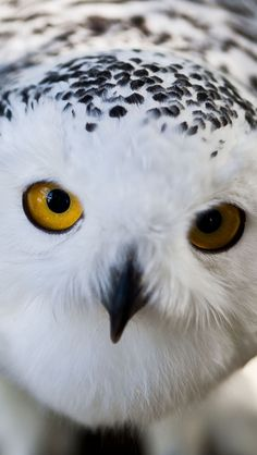John James Audubon once saw a Snowy Owl lying at the edge of an ice hole, where it waited for fish and caught them using its feet What Animal Are You, Owl Who, Owl Mask, John James Audubon, Snowy Owl, All Gods Creatures, Baby Owls, Bird Watching, Bird Feathers