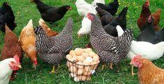 Куры несушки - разведение для себя и для бизнеса - все о курах от яйца до курятника