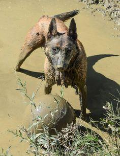 www.wolfsbaneK9.com Belgian Malinois playtime in the mud
