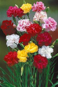 Carnations and daisies are two popular flowers that add a great touch to any garden. Learn how to grow carnation and daisy flowers in your home garden. Flowers, Pretty Flowers, Trees To Plant, Carnation Plants, Growing Carnations, Flower Arrangements, Carnations, Perennials, Carnation Flower
