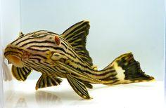 AquaBid.com - Item # fwcatfishp1427490183 - ROYAL PLECO L191 - medium /Large - Ends: Fri Mar 27 2015 - 04:03:03 PM CDT