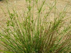 Path Rush/Juncus tenuis sun/light shade dry mesic-wet mesic