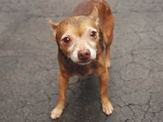 5/31 SUPER URGENT 5/31  . PEPE - A1075082 TO BE DESTROYED 05/31/16 **NEEDS A NEW HOPE RESCUE TO PULL** Poor Pepe is a senior, male, brown Chihuahua/Shih Tsu mix. All that is known for a fact about this man is that someone surrendered him to the ACC on May 25th, supposedly as a stray. The ACC doesn't much care for him and he doesn't much care to be there. The end result was a NEW HOPE rating slapped on him before the ACC put him on the At Risk List. His shelter notes indicate that the staff…