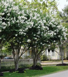 Crape of Crepe Myrtle Tree Natchez unto All Lagerstroemia: full sun/ best to plant a year old