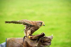 A baby hawk by Niki Odolphie on 500px
