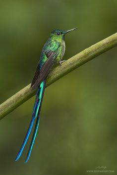 Long-tailed Sylph - Ecuador 2014 Trip Report » Focusing on Wildlife