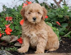 This energetic & playful Mini Goldendoodle puppy will surely keep you on your toes! She is a beautiful puppy who will make a fantastic watch dog. Animals And Pets, Funny Animals, Cute Animals, Minature Goldendoodle, Puppies For Sale, Puppies Puppies, Miniature Puppies, Fat Dogs, Golden Puppy