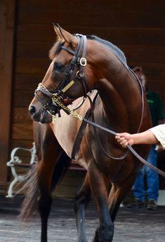 Race horse Magnificent