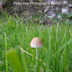 Peter Key photography 2015 Picture of a mushroom in damp grass
