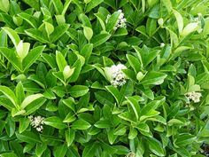 Push the boundaries with this diverse array of hedging plants, from shapely boxes to feathery dwarf bamboo. Hedging Plants, Shrubs, Shade Garden, Garden Plants, Pool Plants, Herb Garden, Vegetable Garden, Dwarf Bamboo, Garden Hedges