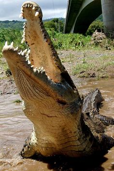 Huge crocodiles are common in the Tárcoles River, near Carara National Park, Costa Rica. http://www.greennoise.cr/carara