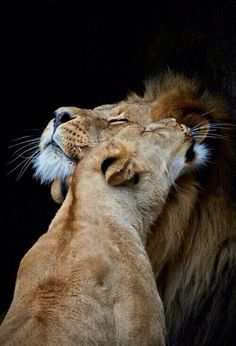 Lion cuddles - Belezza,animales , salud animal y mas Beautiful Cats, Animals Beautiful, Big Cats, Cats And Kittens, Animals And Pets, Cute Animals, Wild Animals, Baby Animals, Gato Grande