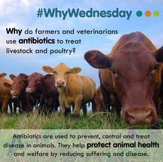 Learn more about this topic through the Animal Health Institute! http://www.ahi.org/issues-advocacy/animal-antibiotics/