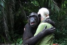 How this chimp responds when released by Jane Goodall into sanctuary is soul melting...