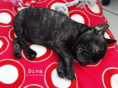 Petite Frenchie on his comforting DIva Red Doggy Pillow.
