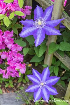 These part shade perennials all have gorgeous purple or blue flowers and bloom in the spring or early summer. Which makes them perfect companion plants to cover up spring bulbs when they go dormant. Clematis Care, Blue Clematis, Clematis Plants, Autumn Clematis, Part Shade Perennials, Spring Perennials, Hardy Perennials, Flowers Perennials, Garden Bulbs