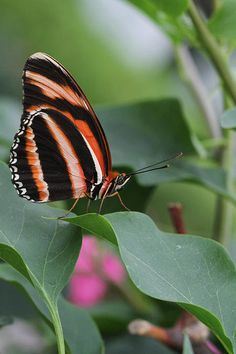 Banded Orange Longwing Butterfly By Judy Whitton