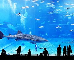 This is the world's second biggest fish tanks - so big that it's even been named the Kuroshio Sea. Located in Okinawa, Japan, the aquarium houses an enormous tank that is some ten metres deep, 35 metres wide and 27 metres long. It is home to a dazzling variety of all the species found thriving around Okinawa, including giant soaring manta rays and the daddy of them all, the world's biggest fish, the whale shark.