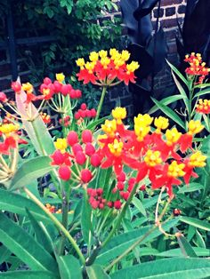 Pentas bloom in the GSRM Workers' Garden, summer 2013.  #Savannah