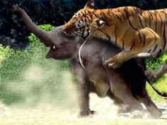 Tiger taking down an elephant