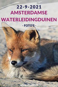 Ik maakte een wandeling in de Amsterdamse Waterleidingduinen. Dit keer zag ik drie vossen. libelles en damherten. Mijn foto's zie je hier. Kijk je mee? #awd #damhert #vos #libelle #wandelen #hiken #natuur #jtravel #jtravelblog #fotos