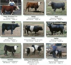 Names of Cattle Breeds | LISTING OF MINI CATTLE BREEDS