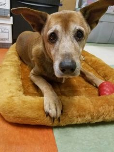 Could there be anything sadder than to hear a surrendered senior pooch cry out softly in loneliness? It is unknown why Gully was abandoned by his family, but the very adoptable seven-year-old pooch has no idea why he is alone at the Jacksonville Animal Care and Protective Services. What did Gully do wrong? Cristhel Cecilia …
