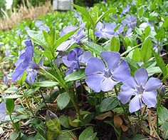 Periwinkle / Vinca -grows well in shady areas