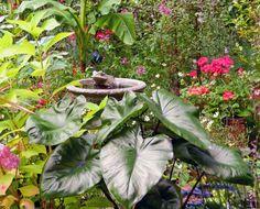 Elephant Ear In Terry's Garden