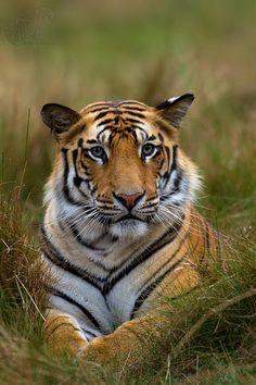 Royal Bengal Tiger by SUDHIR SHIVARAM