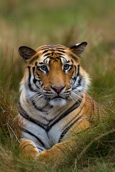 Royal Bengal Tiger by SUDHIR SHIVARAM