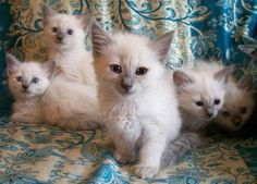 lilac point Siamese kittens, miss Gracie