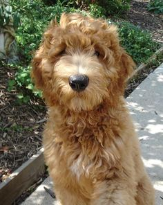 Come home with me sweet Goldendoodle