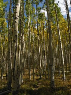 Sante Fe aspens  Photographer: Polly Holyoke
