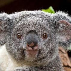 Researchers recently learned that koalas have the equivalent of human fingerprints, on their noses. This discovery will help in researching these marsupials, who have experienced 80% habitat loss.