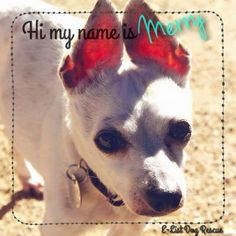 Meet Merry, a Petfinder adoptable Chihuahua Dog | Phoenix, AZ | Merry is a sweet, lovable little chihuahua. She's timid nitially, but she warms up quickly and will...