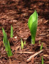 Dividing Hostas Like A Pro - How & When To Divide Your Hosta Plants