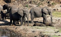 Elephants in a heard
