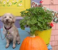 Jack on the front stoop with pumpkins and geraniums