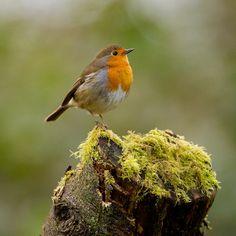 Robin - Erithacus rubecula (by Animals And Pets, Cute Animals, Parus Major, European Robin, Let's Make Art, Robin Redbreast, Robin Bird, Cute Creatures, Little Birds