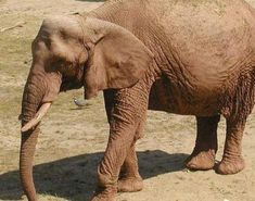 Pictures of African Forest Elephant
