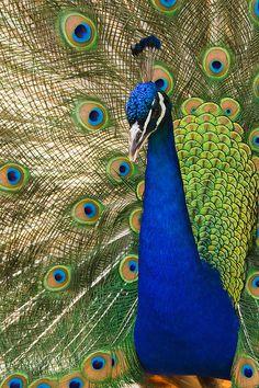 Beautiful peacock photo. #bird #animal