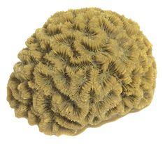 Diploria Clivosa - Open Brain Coral #10102