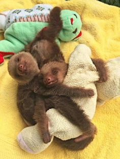 Two Baby Sloths Cuddling With A Plush In many ways, pets are like children - and their obsession with plushie toys is something that demonstrates it. When a doggie, a kitty or a little mouse cuddles Baby Sloth Pictures, Cute Animal Pictures, Cute Baby Sloths, Cute Sloth, Baby Otters, Cute Little Animals, Cute Funny Animals, Happy Animals, Wild Animals