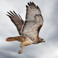 Im Otta Here - A single Red-tailed Hawk that had just flown off of a telephone pole. All Birds, Birds Of Prey, Hawk Feathers, Hawk Tattoo, Eagle Pictures, Hawk Bird, Red Tailed Hawk, Secret Life Of Pets, Creature Concept
