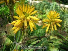 Yellow Aloe Vera #theflowershopfairoaks