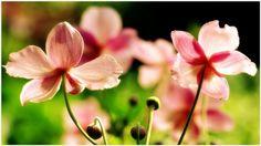 Blooming Flowers Wallpaper | blooming flowers live wallpaper, blooming flowers wallpaper