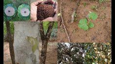 Folk Rice Formulations for Islet cell cancer: Pankaj Oudhia's Medicinal ...