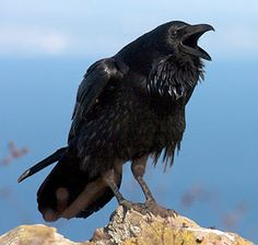 Bird of the Day: The American Crow Vs. The Common Raven (image is a raven)